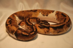 The most popular reptile pets are: Ball Python, Bearded Dragon, Corn Snake, Red Eared Slider. Blue Tongue Skink, Leopard Gecko, Crested Gecko, Green Iguana, Sulcata Tortoise, Garter Snake.