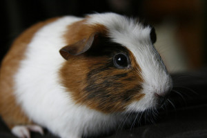 buy hamsters in Racine, WI
