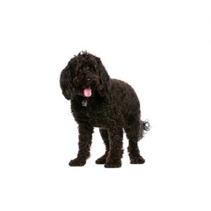 "18/"" Wide Indoor//Outdoor LABRADOODLE Street Sign dog pet lab poodle cute"