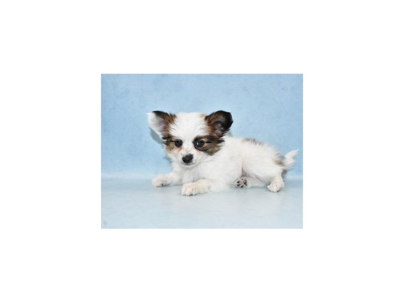 Papillon-Female-White and Red-2567354-Petland St. Louis, Missouri