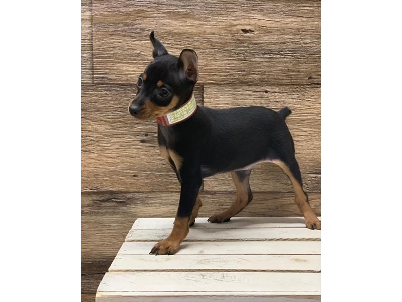 Miniature Pinscher-Male-Black / Tan-2611898-Petland St. Louis, Missouri