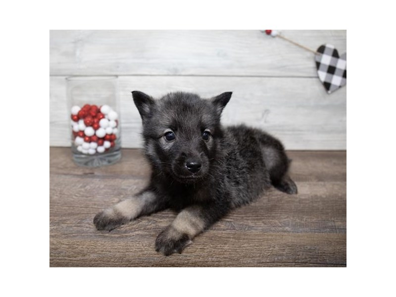 Norwegian Elkhound-Male-Black / Silver-2617814-Petland St. Louis, Missouri