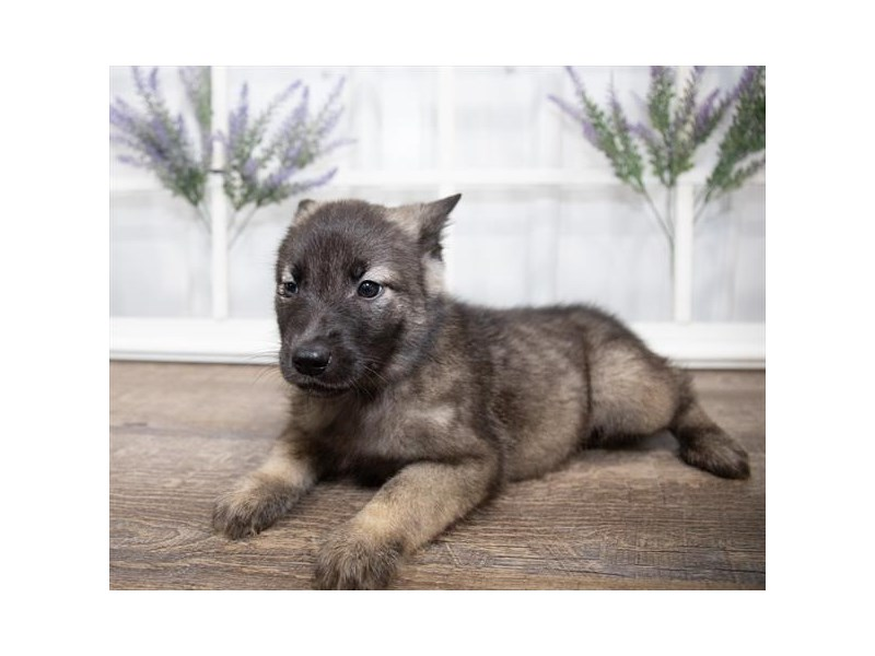 Norwegian Elkhound-Female-Sable-2631335-Petland St. Louis, Missouri