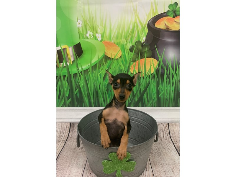 Miniature Pinscher-Female-Black and Rust-2641408-Petland St. Louis, Missouri