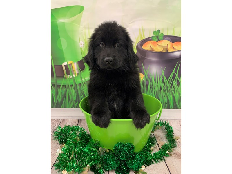Newfoundland-Male-Black-2626901-Petland St. Louis, Missouri