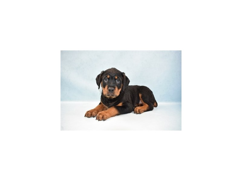 Rottweiler Puppies Petland St Louis Missouri
