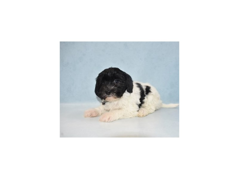 Havanese-Female-Black and White-2684626-Petland St. Louis, Missouri