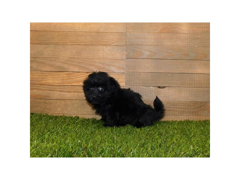 Havanese-Female-Black-2686900-Petland St. Louis, Missouri