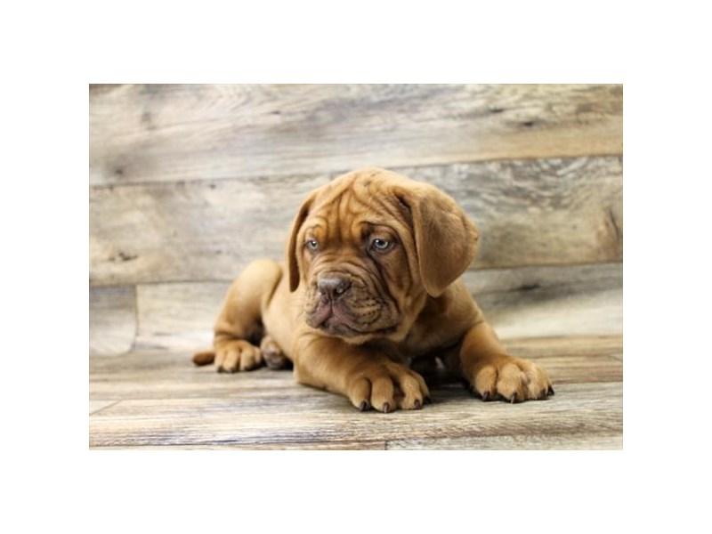 Dogue De Bordeaux-Male-Red-2694033-Petland St. Louis, Missouri