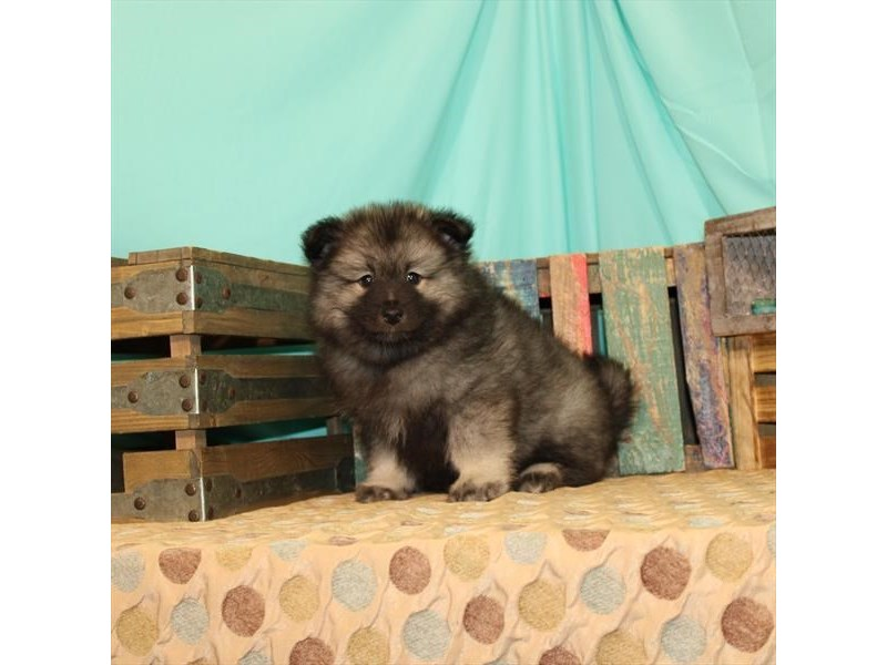 Keeshond-Female-Silver / Black-2698369-Petland St. Louis, Missouri