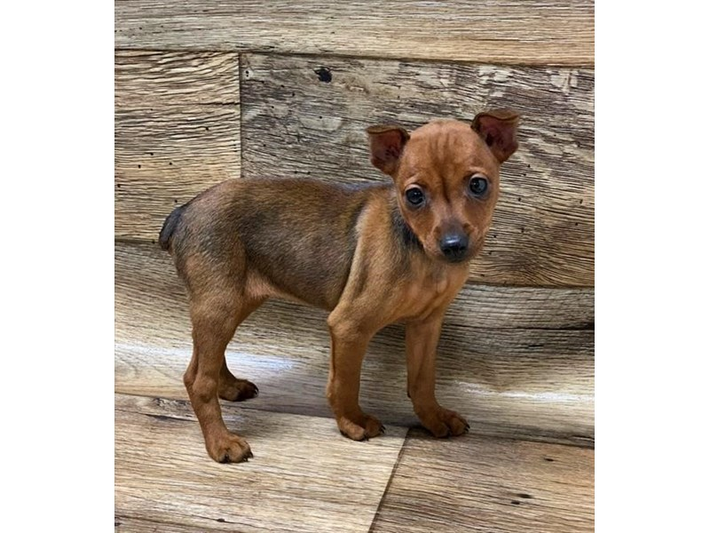 Miniature Pinscher-Female-Stag Red-2713836-Petland St. Louis, Missouri