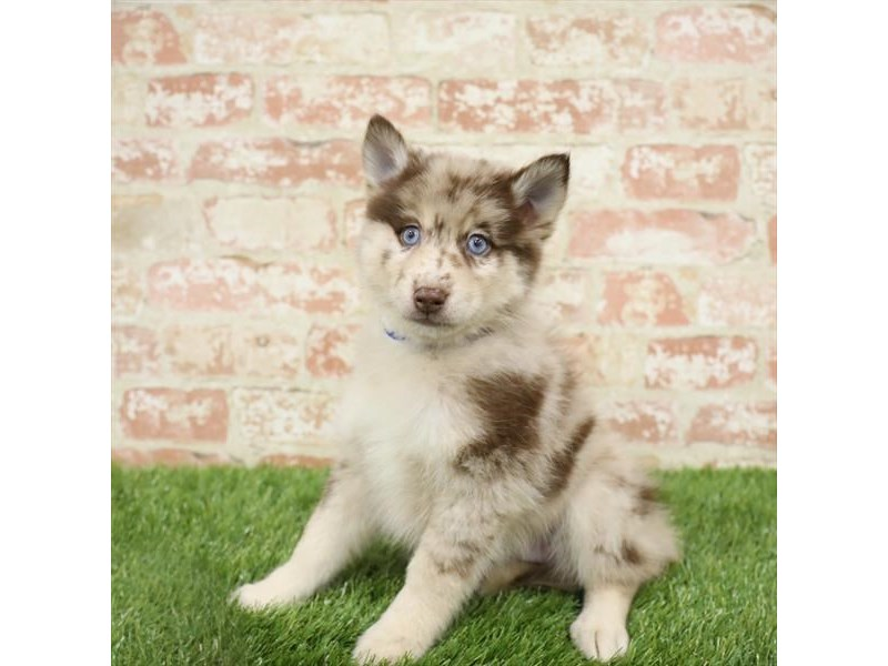 Pomsky-Male-Red Merle-2717554-Petland St. Louis, Missouri