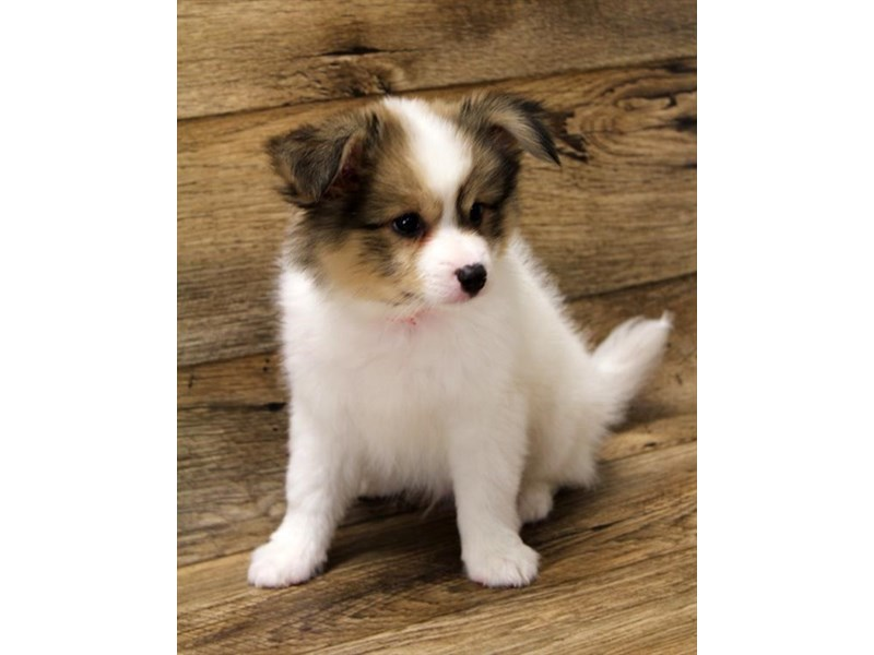 Papillon-Male-Sable / White-2727717-Petland St. Louis, Missouri