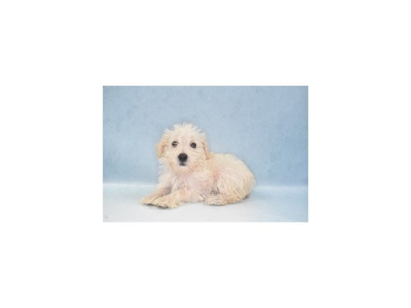 Schnoodle-Female-Cream-2734595-Petland St. Louis, Missouri