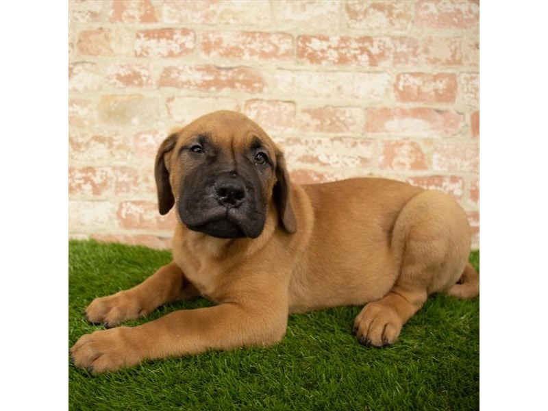 Bullmastiff-Male-Fawn-2745082-Petland St. Louis, Missouri