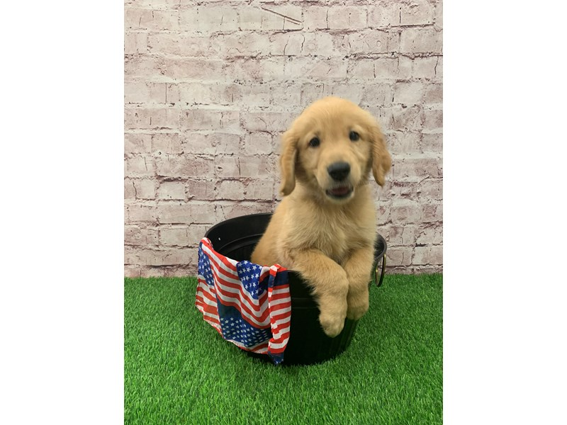 Golden Retriever-Male-Golden-2748242-Petland St. Louis, Missouri