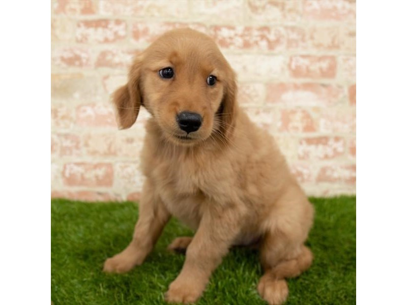Golden Retriever-Female-Golden-2752470-Petland St. Louis, Missouri