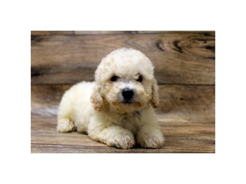 Bichon Poo-Male-Cream-2756436-Petland St. Louis, Missouri