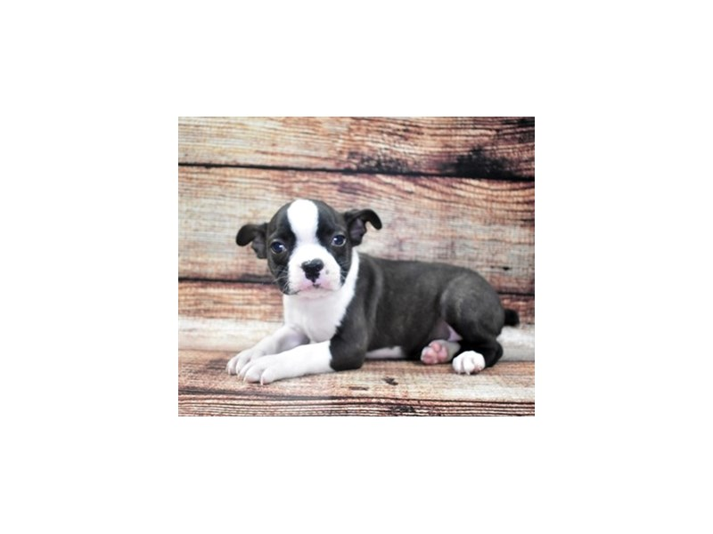 Boston Terrier-Male-Black Brindle and White-2757879-Petland St. Louis, Missouri