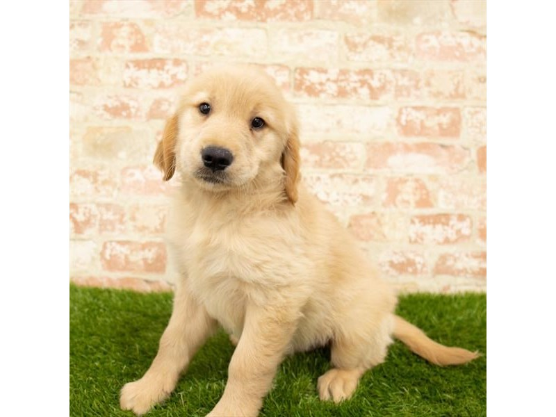 Golden Retriever-Male-Golden-2760395-Petland St. Louis, Missouri