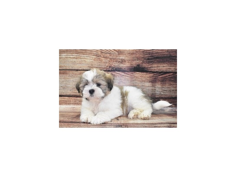 Lhasa Apso-Male-Red Gold-2765433-Petland St. Louis, Missouri