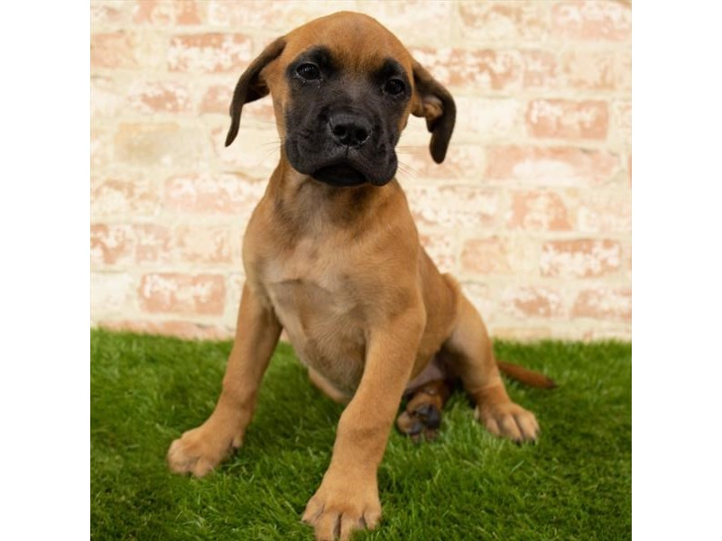 Bullmastiff-Female-Red Fawn-2767796-Petland St. Louis, Missouri