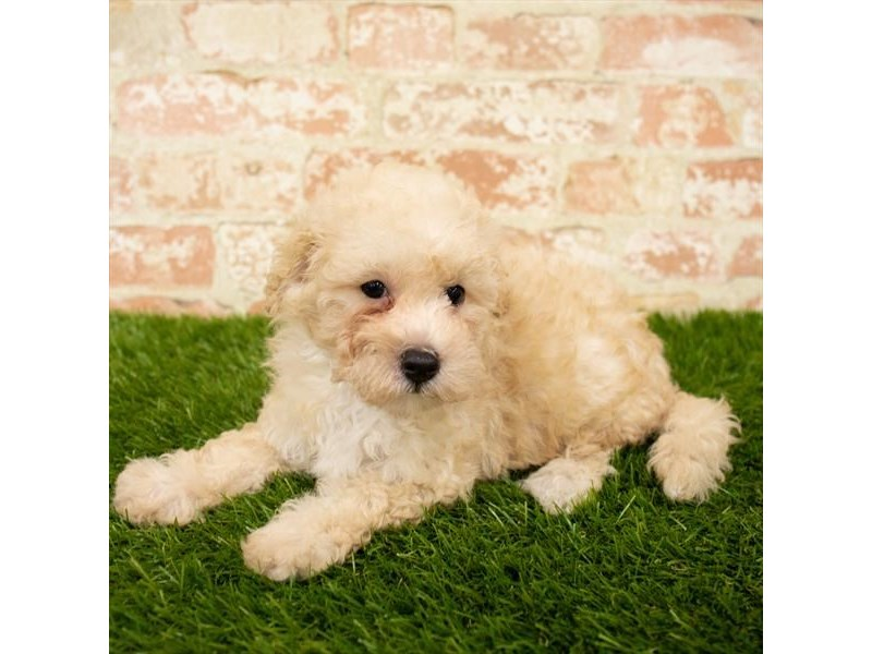 Bichon Poo-Male-Cream-2783734-Petland St. Louis, Missouri