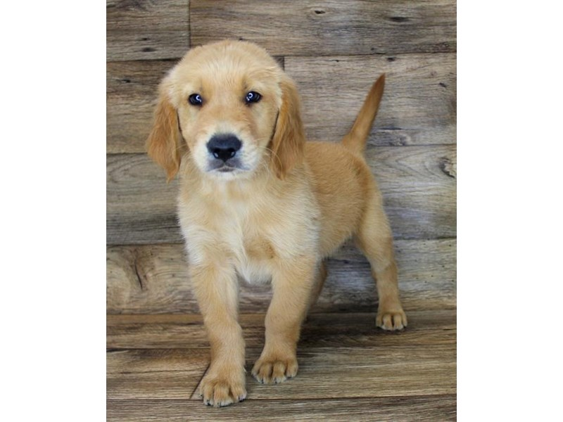 Golden Retriever-Male-Golden-2787619-Petland St. Louis, Missouri