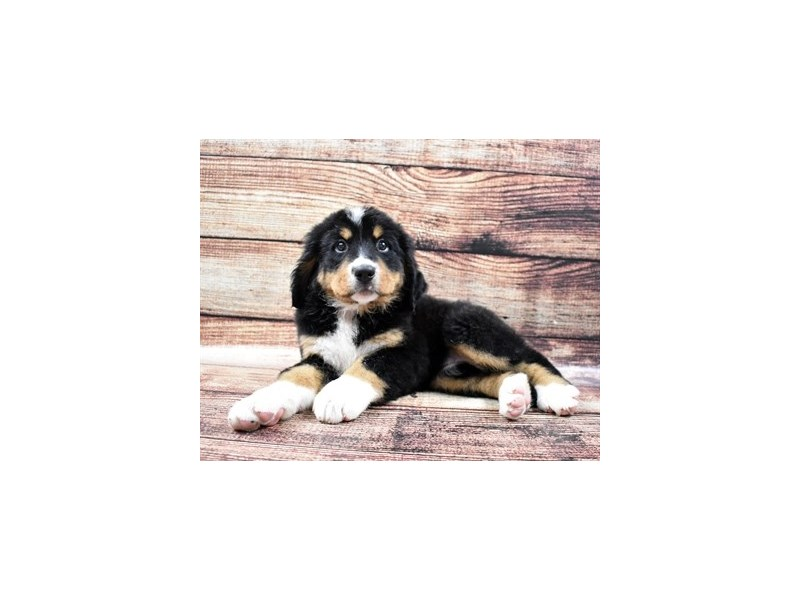 Bernese Mountain Dog-Female-Black Rust and White-2795722-Petland St. Louis, Missouri