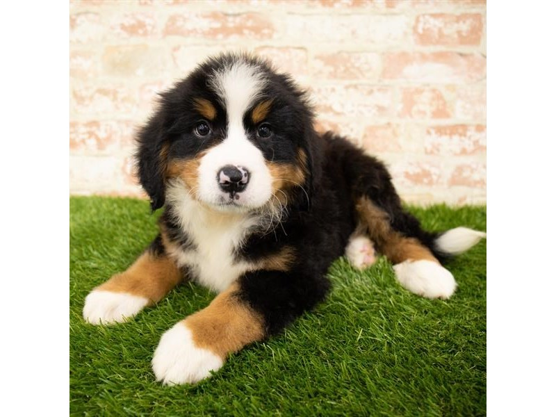 Bernese Mountain Dog-Male-Black Rust / White-2820496-Petland St. Louis, Missouri
