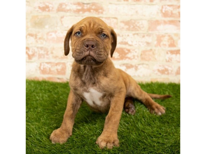 Dogue De Bordeaux-Male-Red Brindle-2812349-Petland St. Louis, Missouri