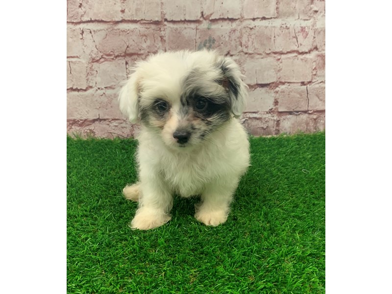 Chipoo-Male-White & Silver Merle-2826364-Petland St. Louis, Missouri