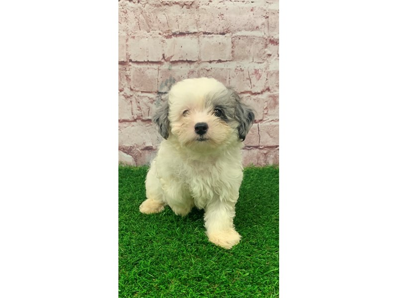 Chipoo-Male-White & Silver Merle-2826334-Petland St. Louis, Missouri
