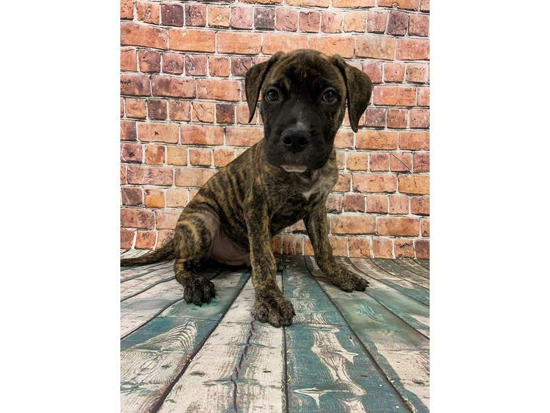 Bullmastiff-Male-Brindle-2838746-Petland St. Louis, Missouri