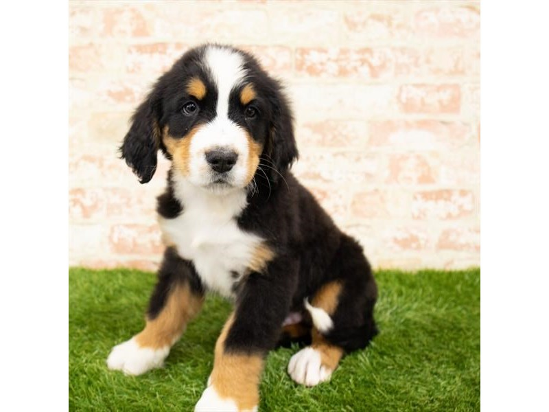 Bernese Mountain Dog-DOG-Male-Black Rust / White-2850443-Petland St. Louis, Missouri