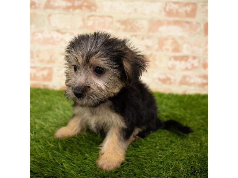 Yorkiepoo-Female-Black / Tan-2835341-Petland St. Louis, Missouri
