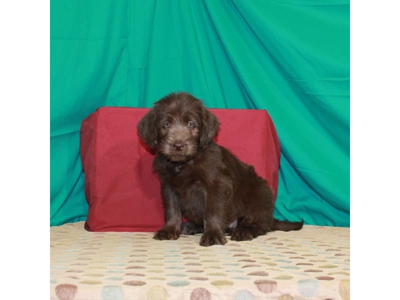 Labradoodle-Female-Chocolate-2862036-Petland St. Louis, Missouri