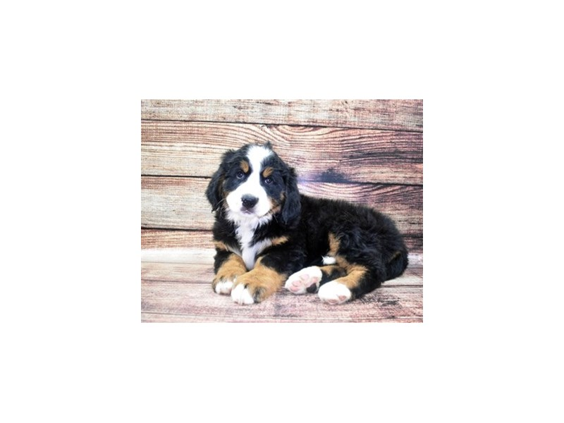 Bernese Mountain Dog-Female-Black Tan and White-2862781-Petland St. Louis, Missouri