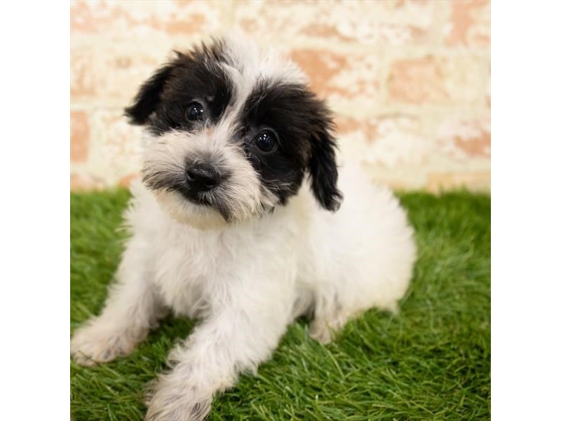Yorkiepoo-Female-Black / White-2864951-Petland St. Louis, Missouri