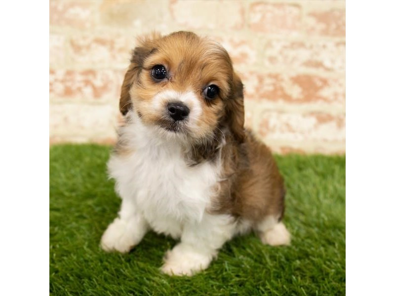 Cavachon-Male-Sable / White-2872236-Petland St. Louis, Missouri