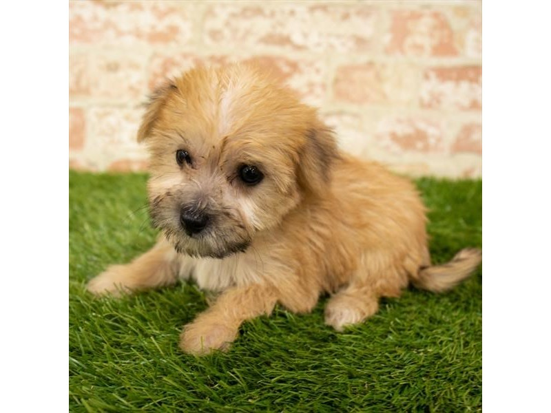 Yorkiepoo-Female-Gold-2835340-Petland St. Louis, Missouri