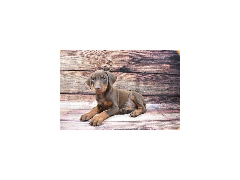 Doberman Pinscher-Female-Red and Tan-2870442-Petland St. Louis, Missouri