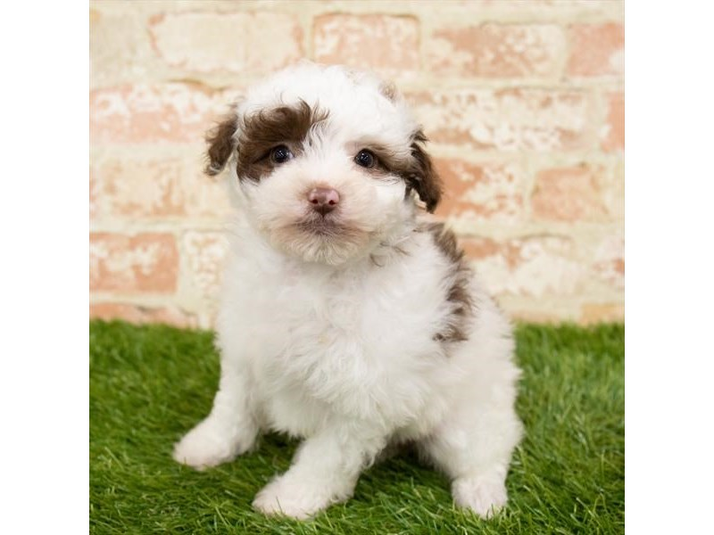 Bichon Poo-Female-Brown-2885856-Petland St. Louis, Missouri