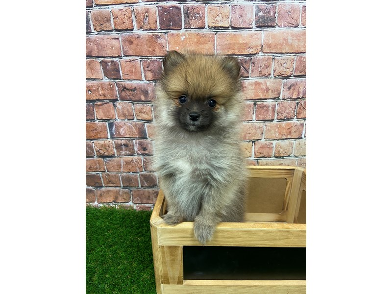 Pomeranian-DOG-Female-Sable-2885025-Petland St. Louis, Missouri
