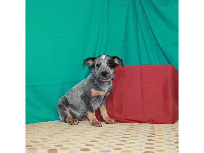 Australian Cattle Dog-Male-Blue-2889346-Petland St. Louis, Missouri