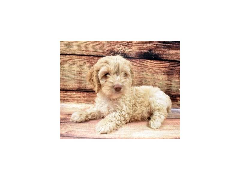 Cockapoo-Male-Golden-2890661-Petland St. Louis, Missouri