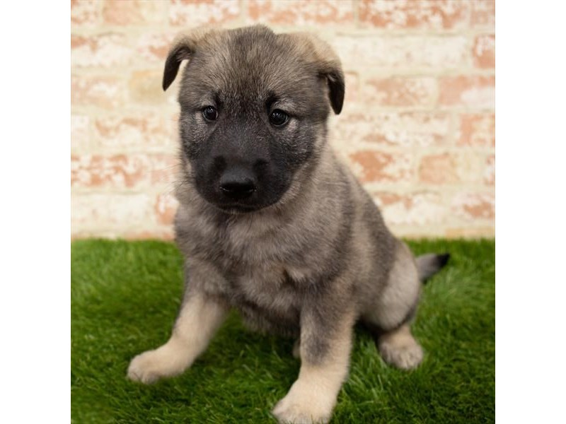 Norwegian Elkhound-Female-Sable-2899878-Petland St. Louis, Missouri