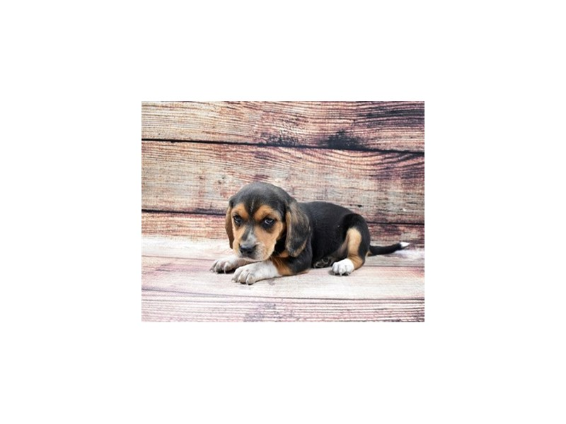 Beagle-Female-Black Tan and White-2932909-Petland St. Louis, Missouri