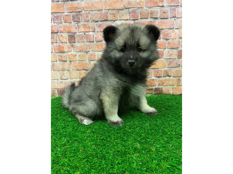 Keeshond-Female-Black / Silver-2939836-Petland St. Louis, Missouri