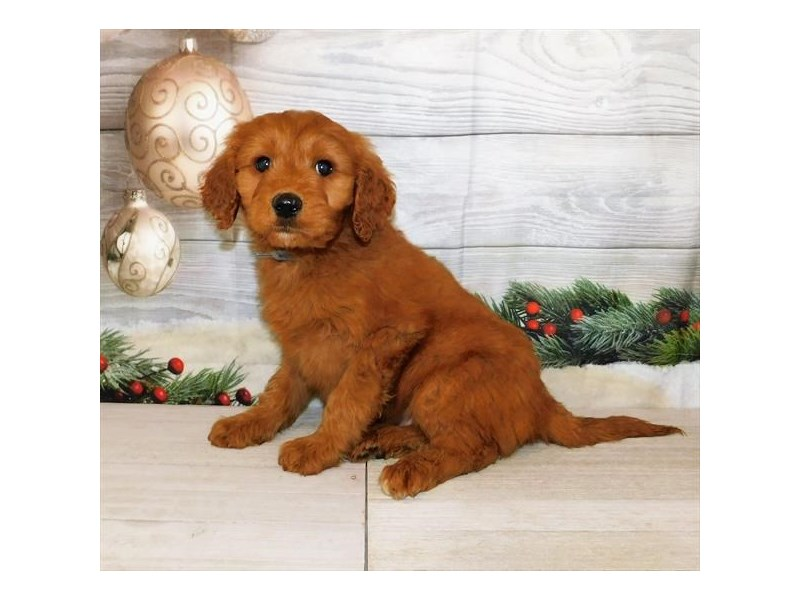 Goldendoodle-DOG-Male-Dark Golden-2947137-Petland St. Louis, Missouri